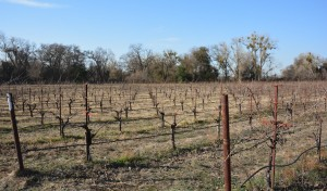 Lower vineyards along the Mokelumne River
