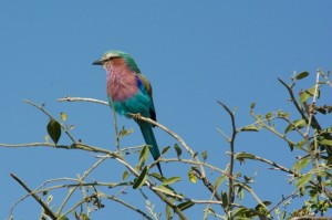 Lilac-breasted roller in Chobe National Park