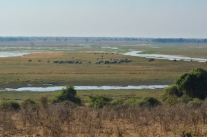 Large elephant herd along the Chobe River
