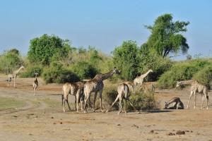 Giraffe along the Chobe River