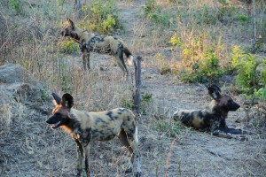 Wild dogs in Chobe National Park