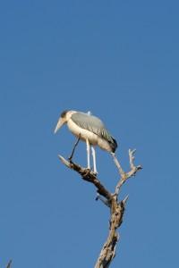 Marabou stork in Chobe National Park
