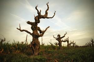 Bechthold Vineyard Cinsault