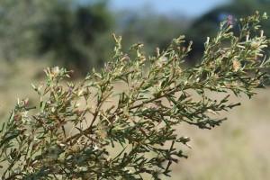 Sage bush in the Okavango Delta