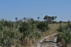 Palms large and small in the Okavango Delta