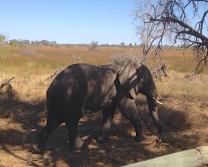Elephant near our tent in the Okavango Delta