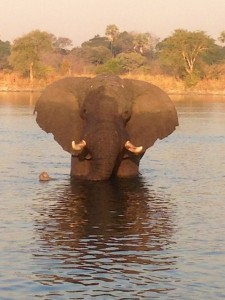 Elephant in the Kafue River, Zambia